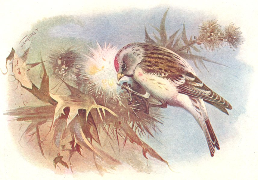 Associate Product BRITISH BIRDS. Mealy Redpoll. THORBURN 1925 old vintage print picture