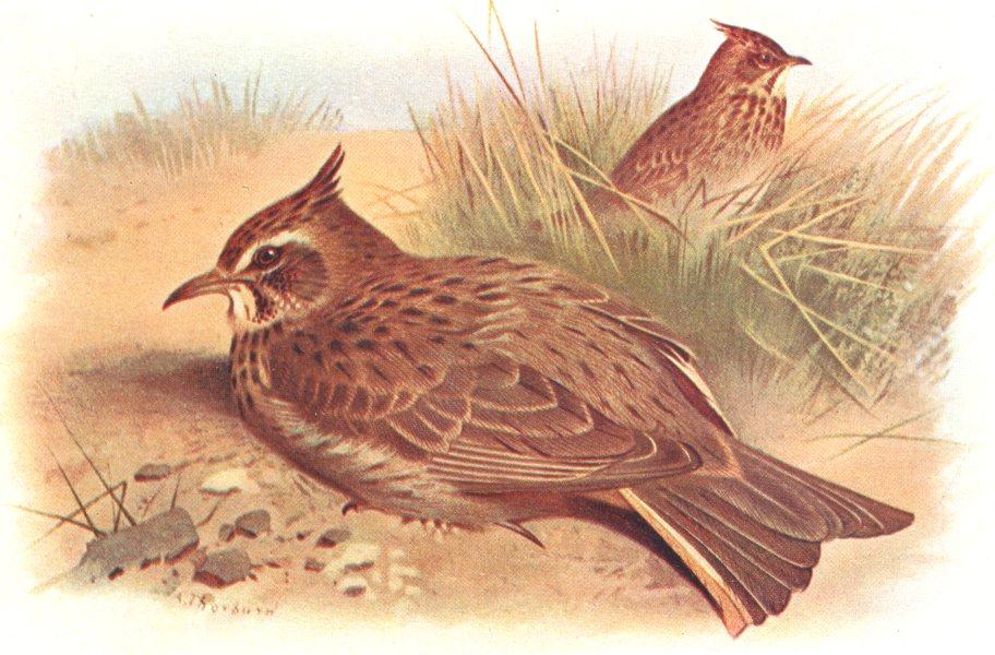 Associate Product BRITISH BIRDS. Crested Lark. THORBURN 1925 old vintage print picture
