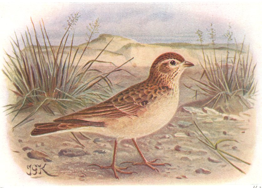 Associate Product BRITISH BIRDS. Short-toed Lark. THORBURN 1925 old vintage print picture