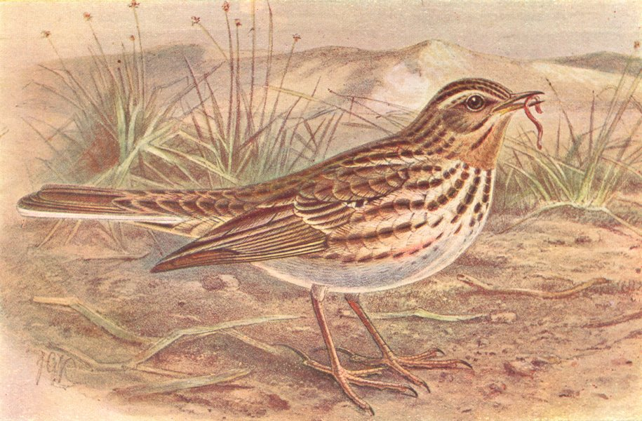 Associate Product BRITISH BIRDS. Red-throated Pipit. THORBURN 1925 old vintage print picture