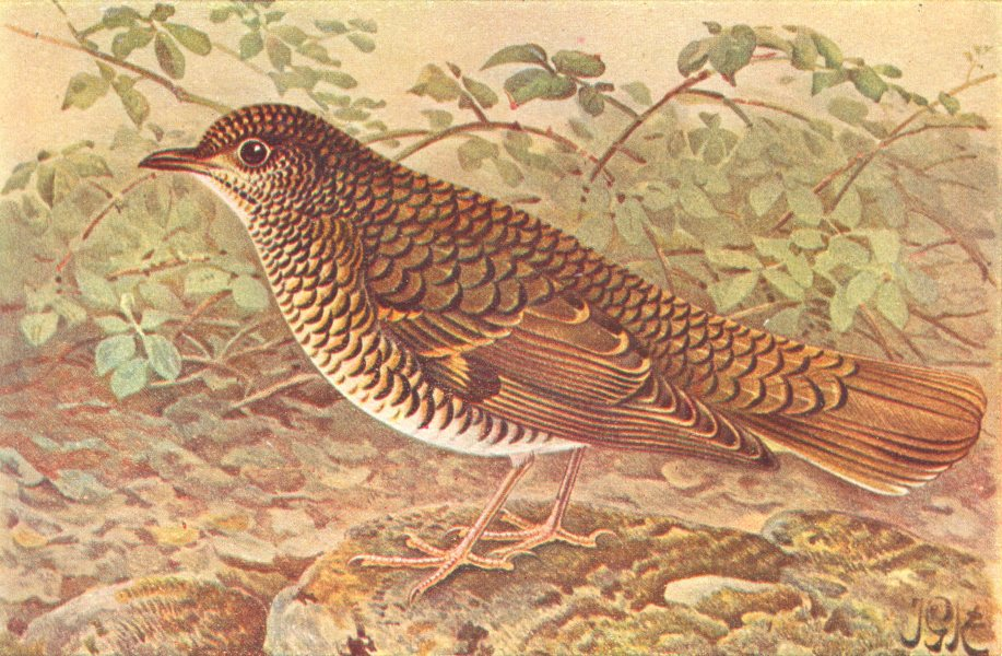 Associate Product BRITISH BIRDS. White's Thrush. THORBURN 1925 old vintage print picture