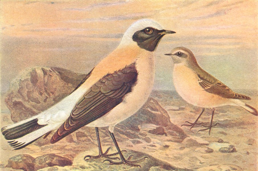 Associate Product BRITISH BIRDS. Black-eared Wheatears. THORBURN 1925 old vintage print picture