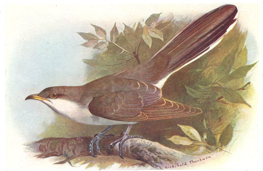 Associate Product BRITISH BIRDS. Yellow-billed Cuckoo. THORBURN 1925 old vintage print picture