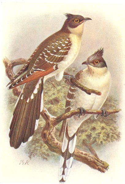 Associate Product BRITISH BIRDS. Great Spotted Cuckoo. THORBURN 1925 old vintage print picture