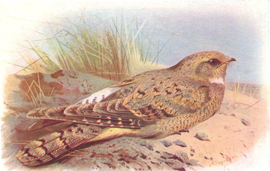 Associate Product BRITISH BIRDS. Egyptian Nightjar. THORBURN 1925 old vintage print picture
