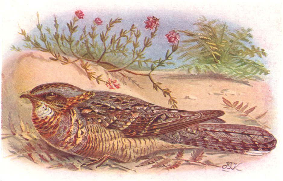 Associate Product BRITISH BIRDS. Red-necked Nightjar. THORBURN 1925 old vintage print picture