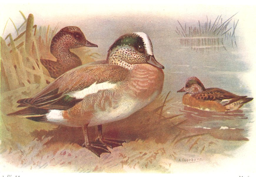 Associate Product BRITISH BIRDS. American Wigeon. THORBURN 1925 old vintage print picture