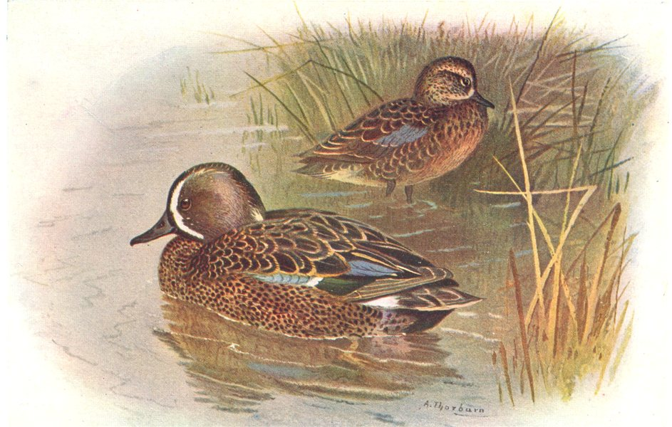 Associate Product BRITISH BIRDS. Blue-winged Teal. THORBURN 1925 old vintage print picture