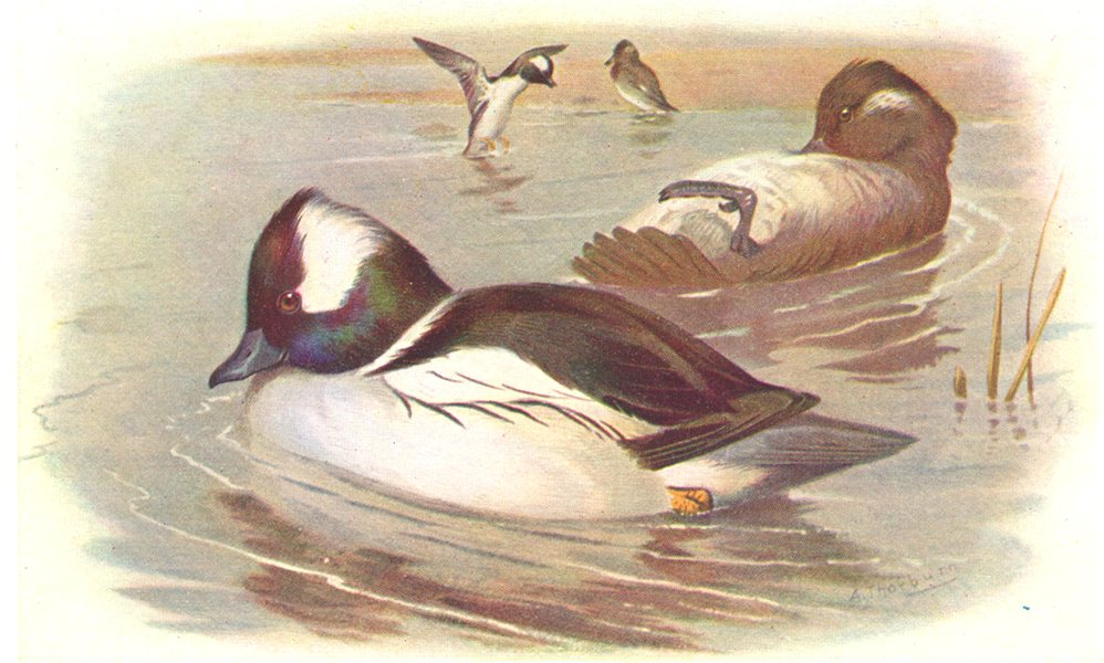 Associate Product BRITISH BIRDS. Buffel-headed Ducks. THORBURN 1925 old vintage print picture