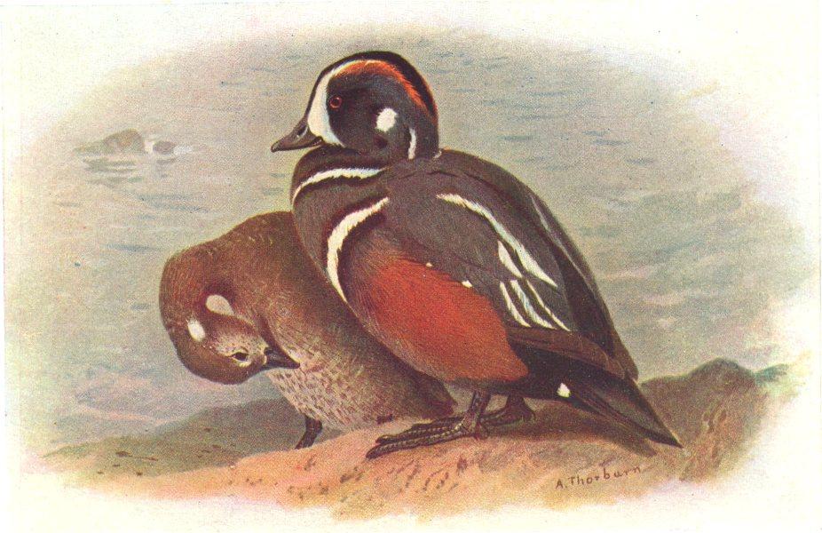 BRITISH BIRDS. Harlequin-Ducks. THORBURN 1925 old vintage print picture