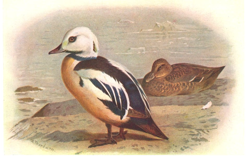 Associate Product BRITISH BIRDS. Steller's Eider. THORBURN 1925 old vintage print picture