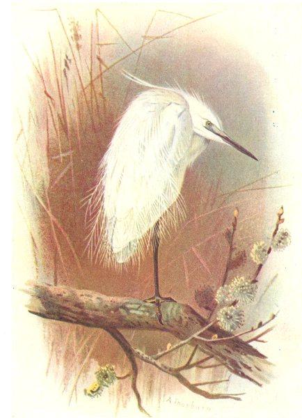 Associate Product BRITISH BIRDS. Little Egret. THORBURN 1925 old vintage print picture