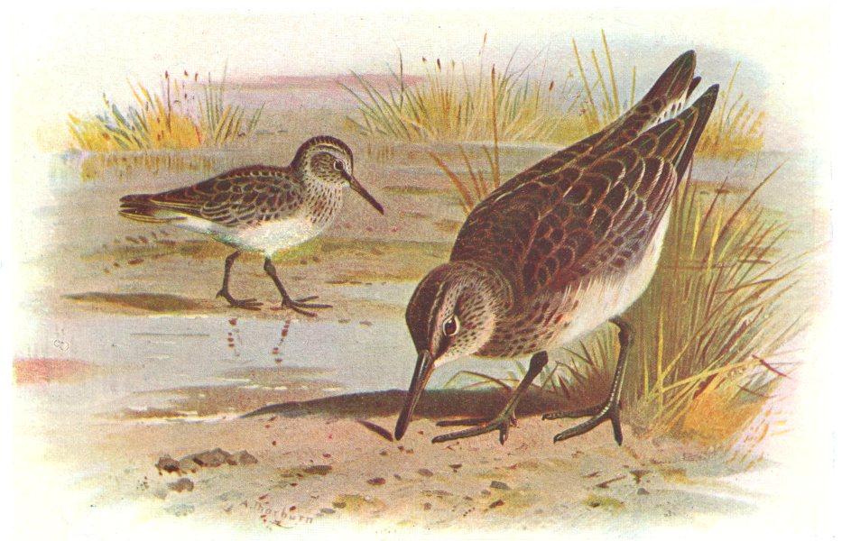 Associate Product BRITISH BIRDS. Broad-billed Sandpiper. THORBURN 1925 old vintage print picture