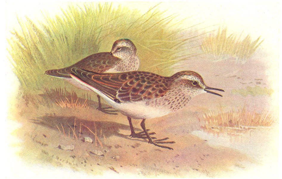 Associate Product BRITISH BIRDS. American Stint. THORBURN 1925 old vintage print picture