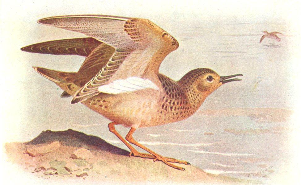 Associate Product BRITISH BIRDS. Buff-breasted Sandpiper. THORBURN 1925 old vintage print