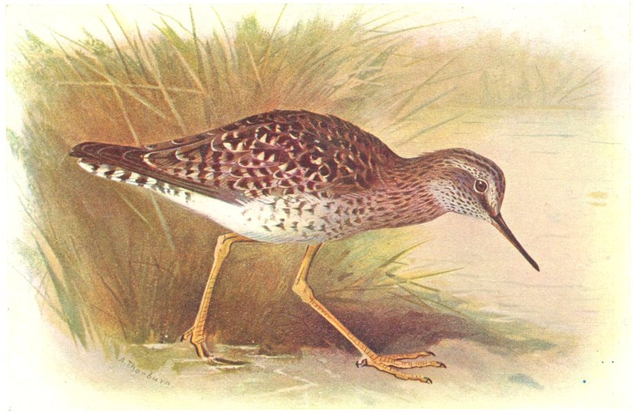 Associate Product BRITISH BIRDS. Yellowshank. THORBURN 1925 old vintage print picture