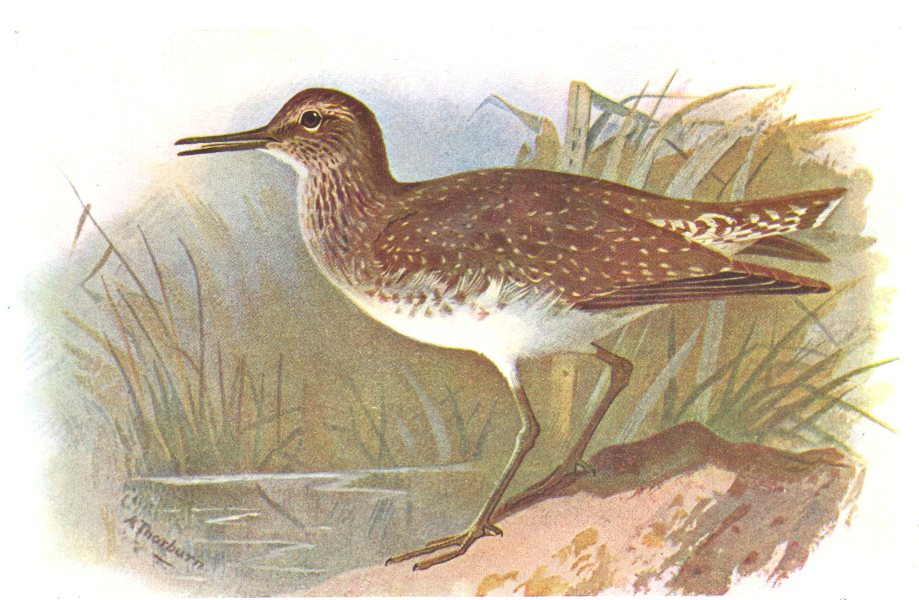 Associate Product BRITISH BIRDS. Solitary Sandpiper. THORBURN 1925 old vintage print picture