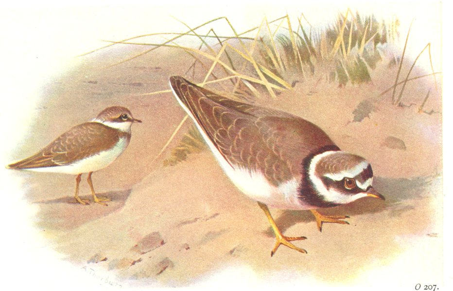 Associate Product BRITISH BIRDS. Little Ringed Plover. THORBURN 1925 old vintage print picture