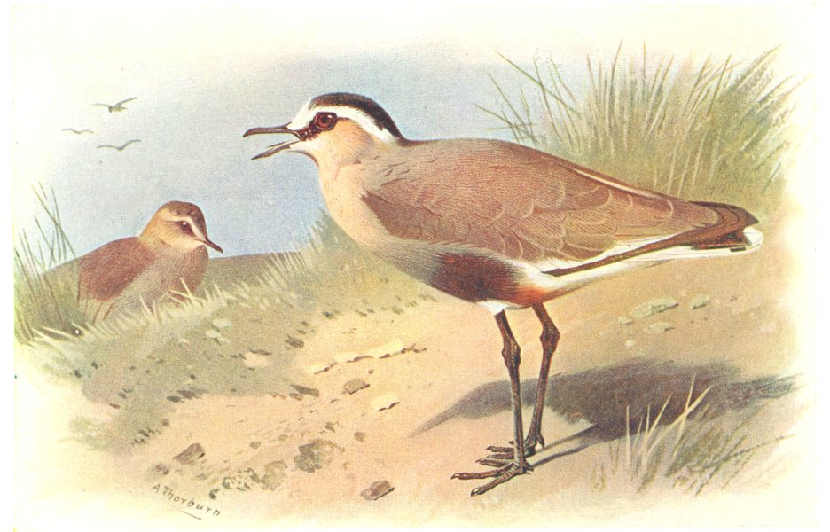Associate Product BRITISH BIRDS. Sociable Plover. THORBURN 1925 old vintage print picture