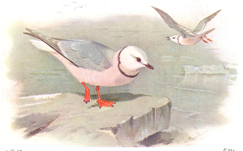 Associate Product BRITISH BIRDS. Rosss Gull. THORBURN 1925 old vintage print picture