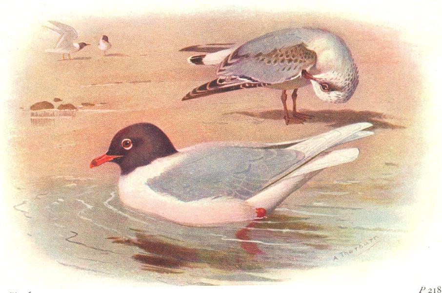 Associate Product BRITISH BIRDS. Mediterranean Black-headed Gull. THORBURN 1925 old print