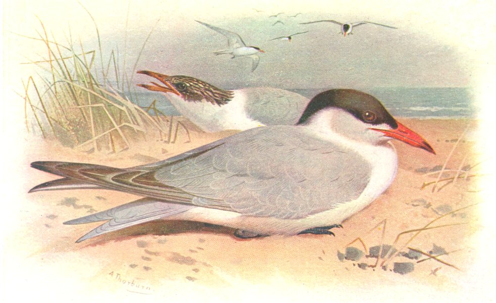 Associate Product BRITISH BIRDS. Caspian Tern. THORBURN 1925 old vintage print picture