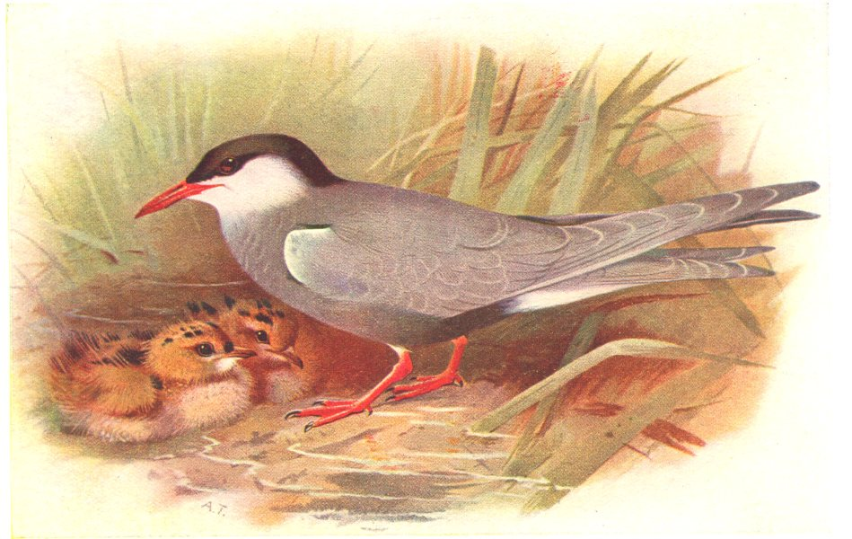 Associate Product BRITISH BIRDS. Whiskered Tern. THORBURN 1925 old vintage print picture