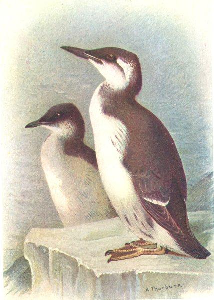 Associate Product BRITISH BIRDS. Brünnich's Guillemot-winter. THORBURN 1925 old vintage print