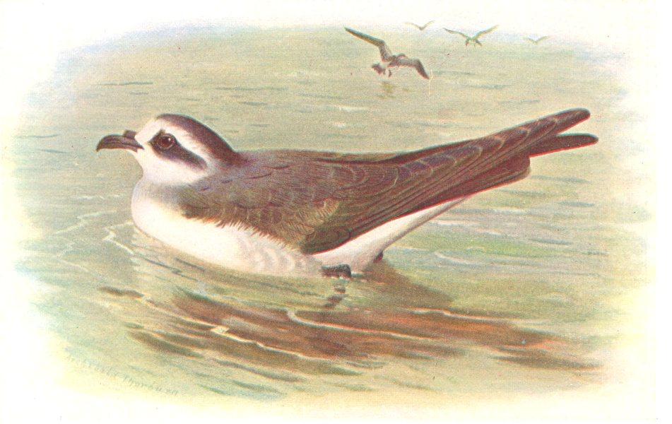 Associate Product BRITISH BIRDS. Frigate Petrel. THORBURN 1925 old vintage print picture