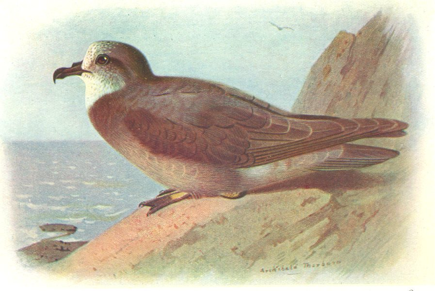 Associate Product BRITISH BIRDS. Collared Petrel. THORBURN 1925 old vintage print picture