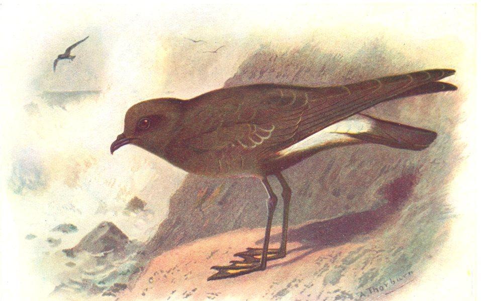 BRITISH BIRDS. Wilson's Petrel. THORBURN 1925 old vintage print picture