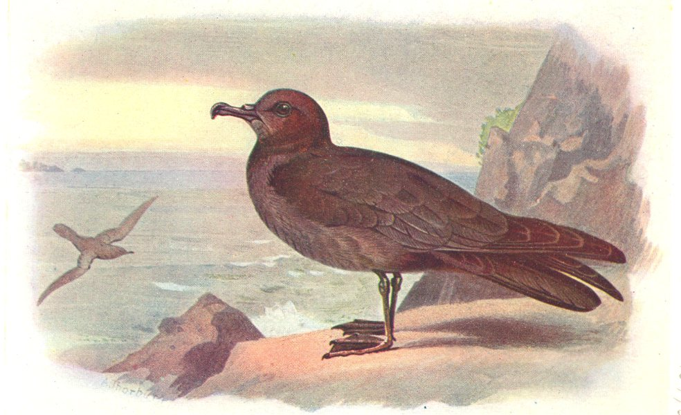 Associate Product BRITISH BIRDS. Bulwer's Petrel. THORBURN 1925 old vintage print picture
