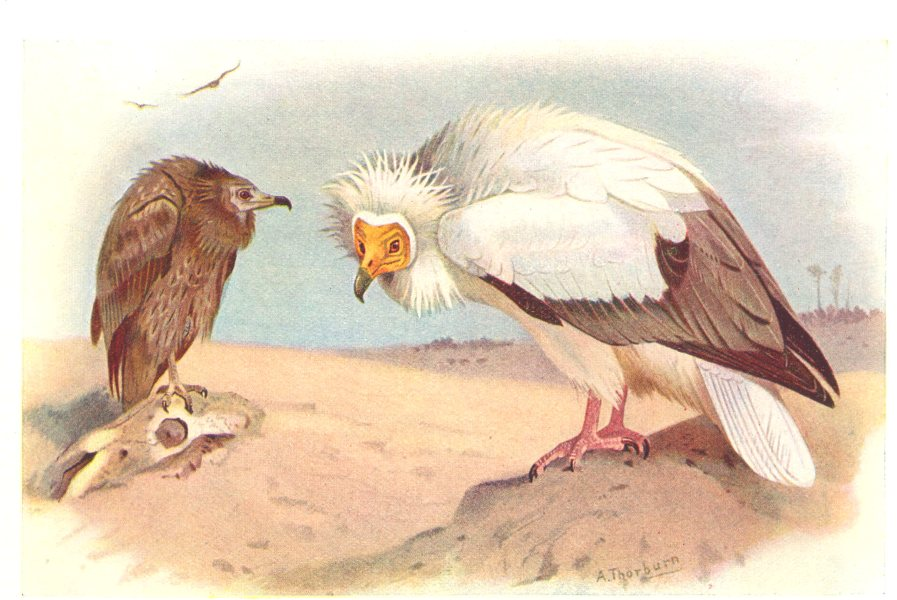 Associate Product BRITISH BIRDS. Egyptian Vulture. THORBURN 1925 old vintage print picture