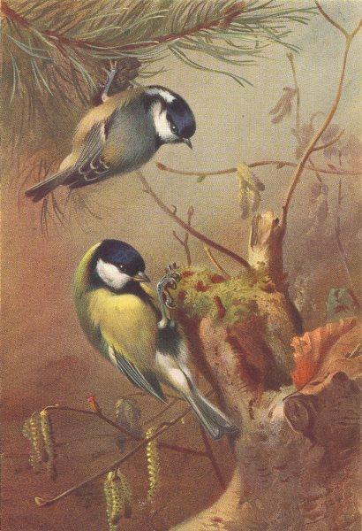 Associate Product BRITISH BIRDS. Coal-Titmouse; Great Titmouse. THORBURN 1925 old vintage print