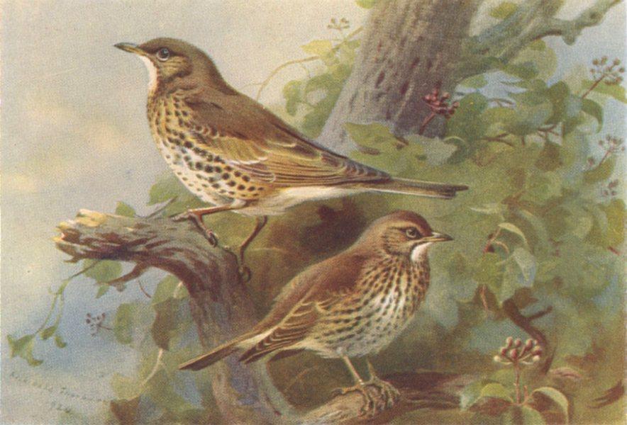 BRITISH BIRDS. Mistle-Thrush; Song-Thrush. THORBURN 1925 old vintage print