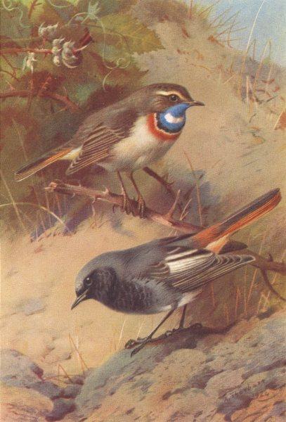 Associate Product BRITISH BIRDS. White-Spotted Bluethroat; Black Redstart. THORBURN 1925 print