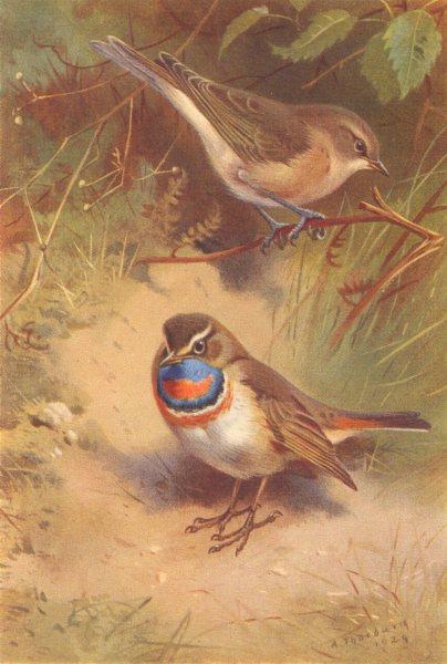 Associate Product BRITISH BIRDS. Garden-Warbler; Arctic Bluethroat. THORBURN 1925 old print