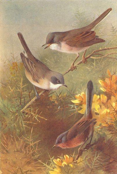 Associate Product BRITISH BIRDS. Lesser Whitethroat; Whitethroat; Dartford Warbler. THORBURN 1925