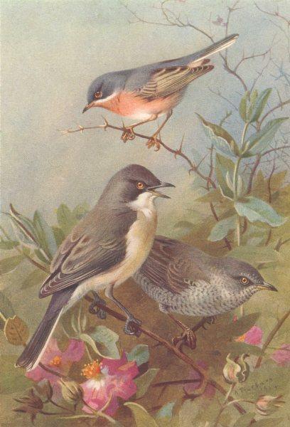 Associate Product BRITISH BIRDS. Subalpine Warbler; Orphean Warbler; Barred Warbler. THORBURN 1925