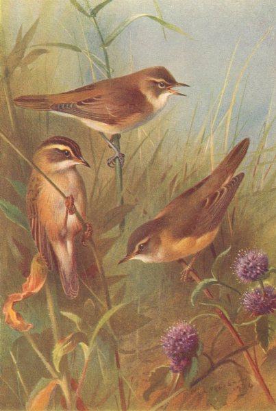 BRITISH BIRDS. Reed-Warbler; Sedge-Warbler; Marsh-Warbler. THORBURN 1925 print