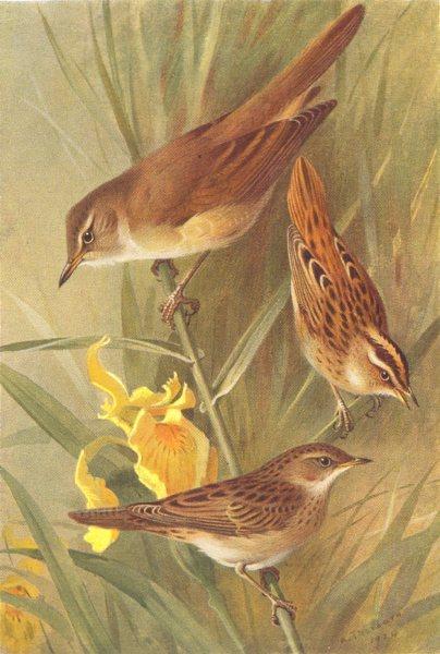 Associate Product BRITISH BIRDS. Great Reed-Warbler; Aquatic; Grasshopper-THORBURN 1925 print