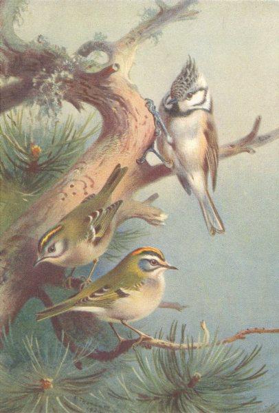 Associate Product BRITISH BIRDS. Goldcrest; Crested Titmouse; Fire-Crest. THORBURN 1925 print