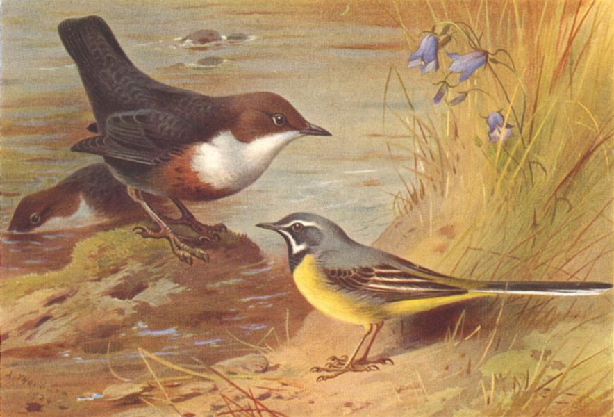 Associate Product BRITISH BIRDS. Dipper Grey Wagtail. THORBURN 1925 old vintage print picture