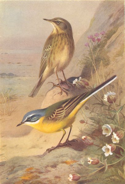 Associate Product BRITISH BIRDS. Rock-Pipit; Blue-Headed Wagtail. THORBURN 1925 old print