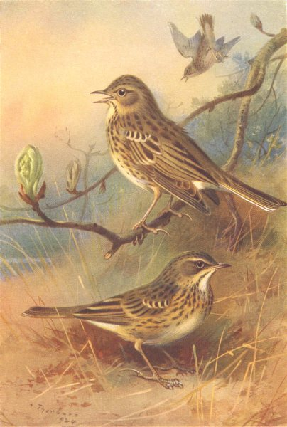 Associate Product BRITISH BIRDS. Tree-Pipit; Meadow-Pipit. THORBURN 1925 old vintage print