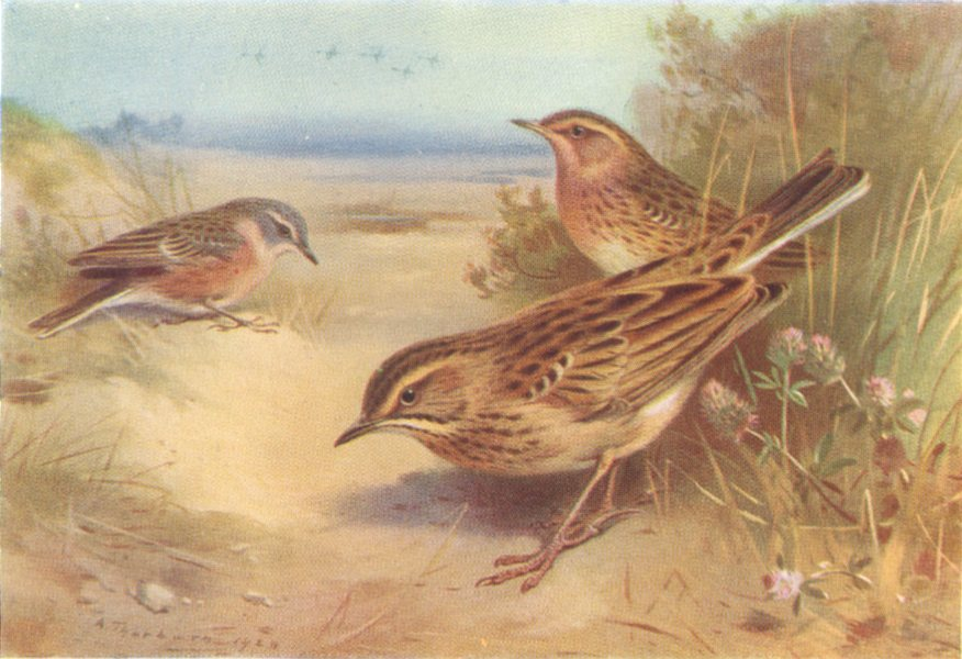Associate Product BRITISH BIRDS. Alpine Water-Pipit; Richard's; Red-Throated. THORBURN 1925