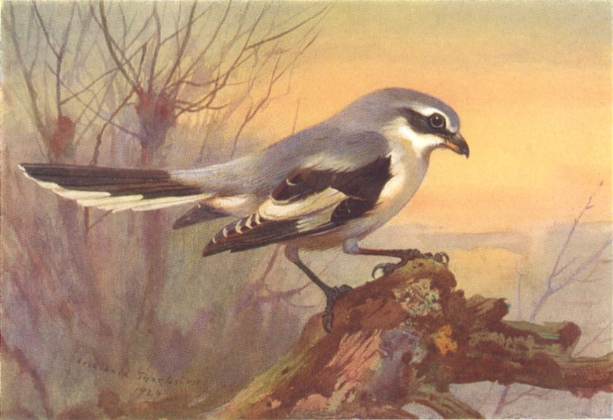 Associate Product BRITISH BIRDS. Great Grey Shrike. THORBURN 1925 old vintage print picture