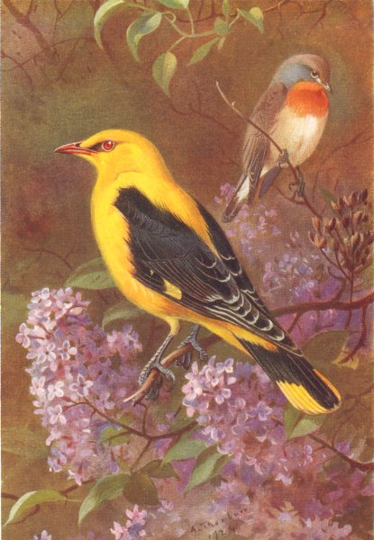 Associate Product BRITISH BIRDS. Golden Oriole; Red-Breasted Flycatcher. THORBURN 1925 print