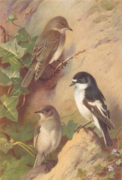 Associate Product BRITISH BIRDS. Spotted Flycatcher; Pied Flycatcher. THORBURN 1925 old print