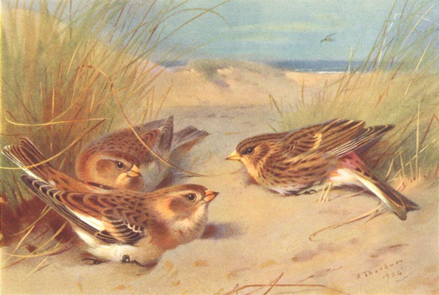 Associate Product BRITISH BIRDS. Snow-Bunting (winter) ; Twite. THORBURN 1925 old vintage print